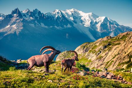 Photo pour Alpine Ibex (Capra Ibex) on the Mont Blanc (Monte Bianco) background. Sunny summer morning in the Vallon de Berard Nature Reserve, Chamonix location, Graian Alps, France, Europe.  - image libre de droit