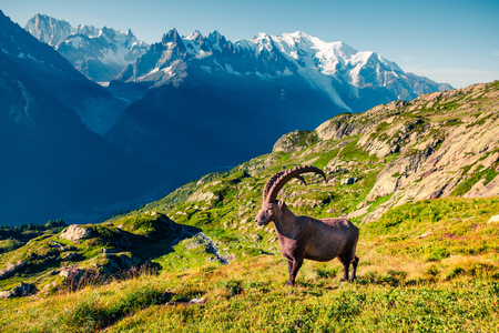 Photo pour Alpine Ibex (Capra Ibex) on the Mont Blanc (Monte Bianco) background. Sunny summer morning in the Vallon de Berard Nature Reserve, Chamonix location, Graian Alps, France, Europe.  - image libre de droit