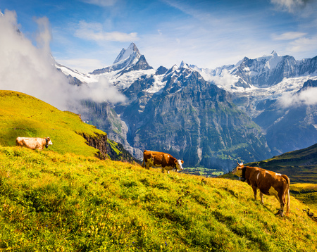 Photo pour Cattle on a mountain pasture. Colorful morning view of Bernese Oberland Alps, Grindelwald village location. Schreckhorn summit in the morning mist. Switzerland, Europe. - image libre de droit