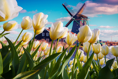 Photo pour The famous Dutch windmills among blooming white tulip flowers. Sunny outdoor scene in the Netherlands. Beauty of countryside concept background. Creative collage. - image libre de droit
