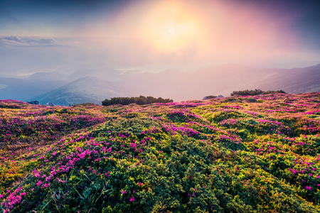 Photo pour Colorful summer sunrise with fields of blooming rhododendron flowers. Splendid outdoors scene in the Carpathian mountains, Ukraine, Europe. Beauty of nature concept background. - image libre de droit