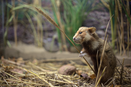 Photo for European hamster (Cricetus cricetus) with a wheat stem. - Royalty Free Image