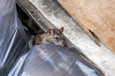 Photo for A rat behind the garbage bag. selective focus - Royalty Free Image