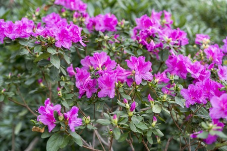 Photo pour Big pink azalea bush in the garden. Season of flowering azaleas. - image libre de droit