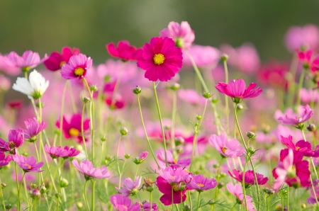 Photo pour Cosmos flowers - image libre de droit