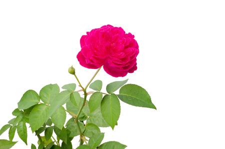 Photo for Damask rose isolated on white background - Royalty Free Image