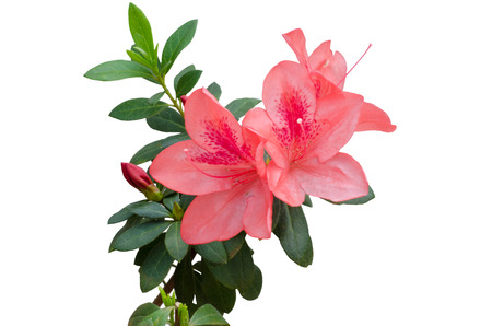 Photo pour azalea blooming on tree isolated on white background - image libre de droit