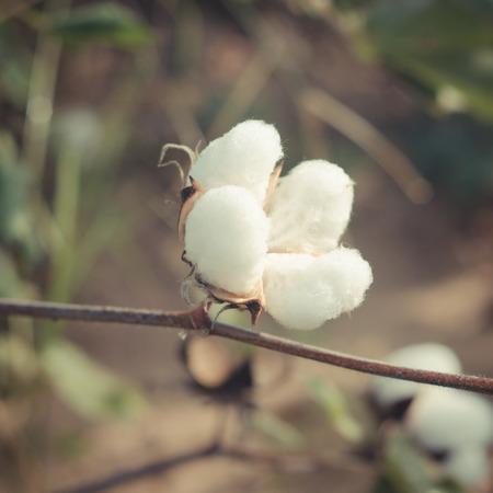 Foto de cotton Plant , vintage cotton - Imagen libre de derechos