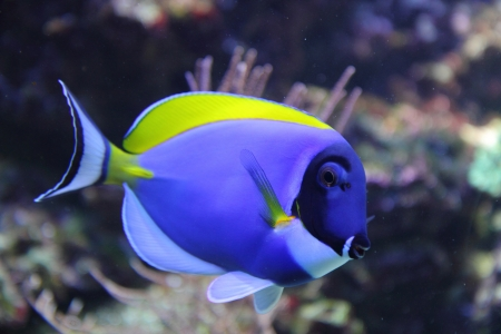 exotic blue fish from the tropical sea