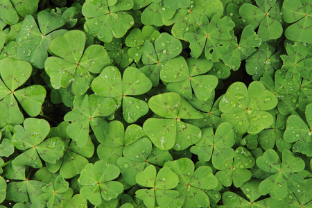 Photo for plan look like four-leaf clover (natural texture) - Royalty Free Image