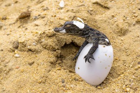 Photo pour A baby Nile Crocodile emerges from its egg. - image libre de droit