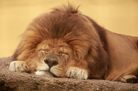African lion sleeping on a flat stone