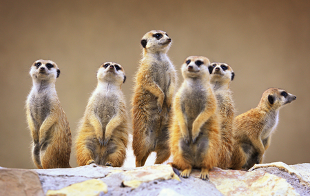 Foto de Group of watching surricatas outdoor - Imagen libre de derechos