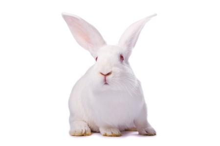 Curious young white rabbit isolated on white background