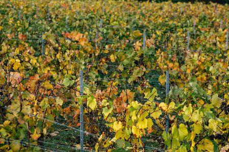 Photo pour Reims France November 4, 2019 View of the vineyard of Taittinger Champagne house during autumn in the countryside of Reims in the afternoon - image libre de droit