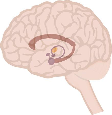 Foto für Limbic System in Brain - Lizenzfreies Bild