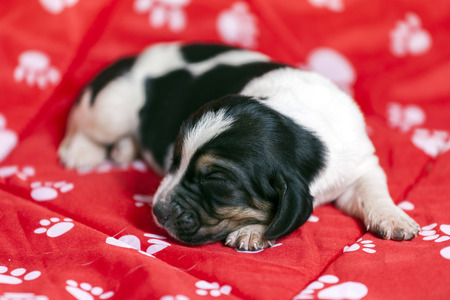 Pretty and gently Basset hound puppy, which is an old one week lying on a red mat and sleeping