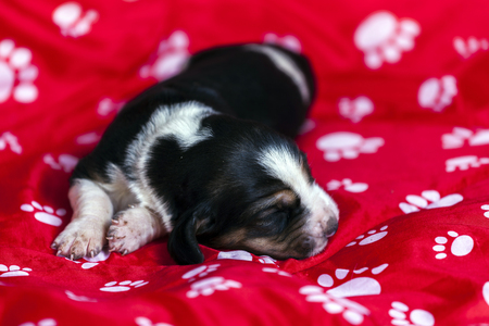 Gently Basset hound puppy, which is an old one week lying on a red mat and sleeping