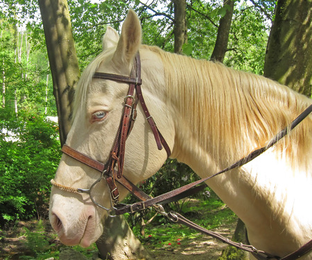 This is a rare colored cremello horse with blue eyes, that is a Quarter horse with a bridle on Beautiful creamy colored mane on this beautiful animal