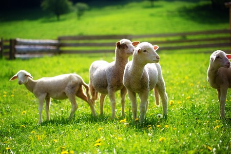 Photo pour Little lambs grazing on a beautiful green meadow with dandelion - image libre de droit