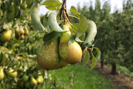 Photo pour pear trees laden with fruit in an orchard in the sun - image libre de droit