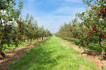 Photo pour apple trees loaded with apples in an orchard in summer - image libre de droit
