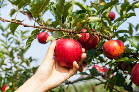 Foto per woman hand picking an apple - Immagine Royalty Free