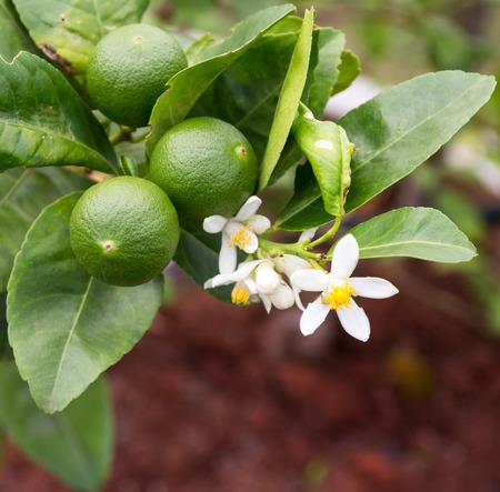 Foto de green lemon - lemon tree -limes - lime tree - Imagen libre de derechos