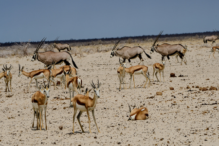 Photo pour Gemsbok and impala on the African plains - image libre de droit