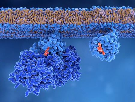 Photo pour Activation of a Ras protein Inactive Ras protein (left) is activated by a GEF protein opening the binding site allowing GDP to exit. Afterwards GTP can bind to RAS turning it into the active form (right). Ras proteins are involved in transmitting signals within cells turning on genes involved in cell growth, differentiation and survival. - image libre de droit