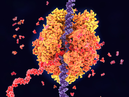 Foto de RNA polymerase II transcribing DNA into RNA. It unwinds DNA strands (violet) and buids RNA (red) out of the nucleotides uridine, adenosine, cytidine and guanosine monophosphate. - Imagen libre de derechos
