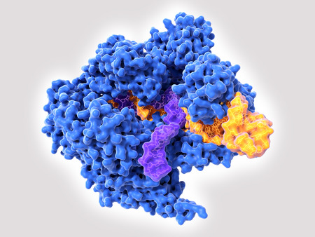 Foto de Cas9 uses CRISPR sequences to recognize and cleave specific strands of DNA. It is used as a specific and easy way to edit genes. Source: PDB entry 5b2r - Imagen libre de derechos