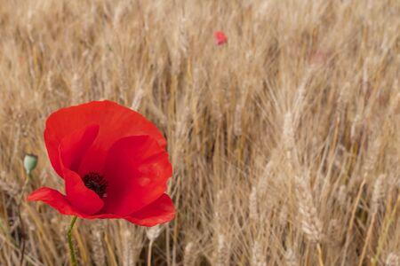 Foto de Red poppy flower in a wheat field - Imagen libre de derechos