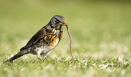 Photo pour Early bird fieldfare, Turdus pilaris, on the green grass in the park catching a worm. - image libre de droit