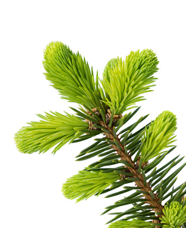 Photo pour Young sprout of spruce isolated on white - image libre de droit