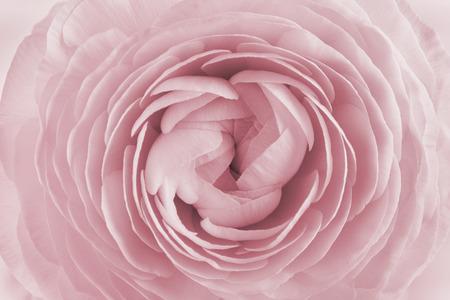 Photo pour Closeup of ranunculus for background, beautiful spring flower, vintage floral pattern, macro - image libre de droit
