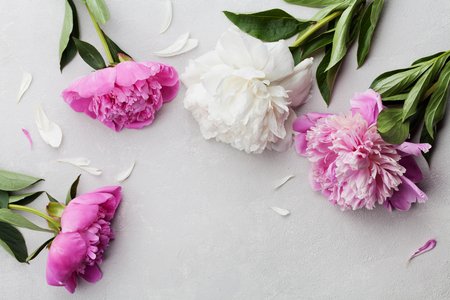 Photo for Beautiful pink and white peony flowers on gray stone background with copy space for your text or design, top view, flat lay - Royalty Free Image