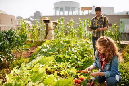 Photo pour Friendly team harvesting fresh vegetables from the rooftop greenhouse garden and planning harvest season on a digital tablet - image libre de droit