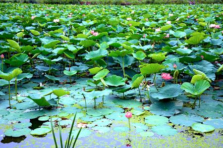 Foto de Lotus Lake, largest lake completely decorated with lotuses. pink flowers - Imagen libre de derechos