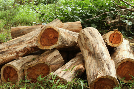 Foto de Wood logs of Siamese rosewood or Thailand rosewood in the forest - Imagen libre de derechos