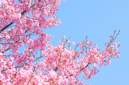 Photo for japanese sakura - Royalty Free Image
