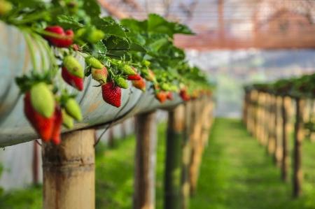 Foto de Strawberry farm - Imagen libre de derechos
