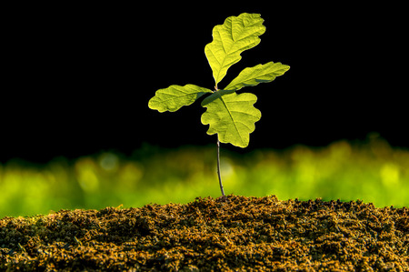 Photo pour Small oak plant in the garden. Tree oak planting in the soil substrate. Seedlings or plants illuminated by the side light. Highly lighted oak leaves with dark background and green grass. - image libre de droit
