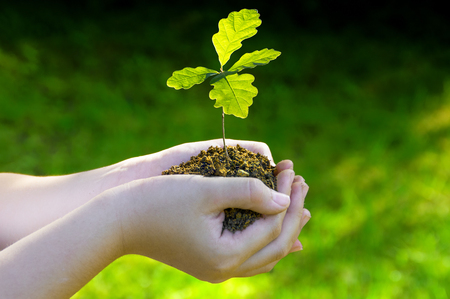 Photo pour Small oak tree in her hands. Seedlings illuminated by side light. Green background - image libre de droit