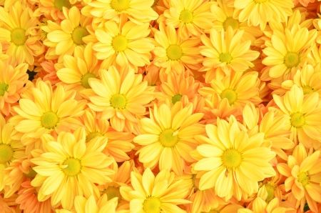 Photo for Yellow Chrysanthemum flowers background - Royalty Free Image