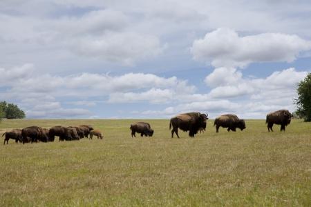 Herd of buffalo grazing in an open field