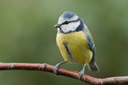 Photo pour Blue tit sitting on a branch - image libre de droit