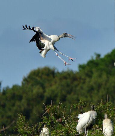 Foto de One wood stork ready to land - Imagen libre de derechos