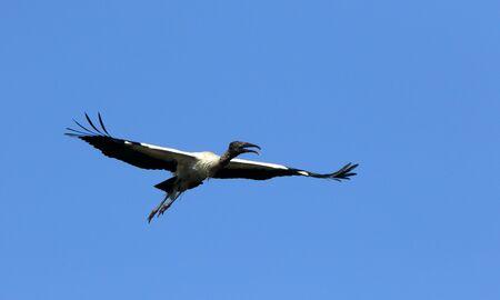 Foto de One wood stork flying - Imagen libre de derechos