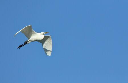 Foto de A Great egret gliding with a blue sky as background - Imagen libre de derechos